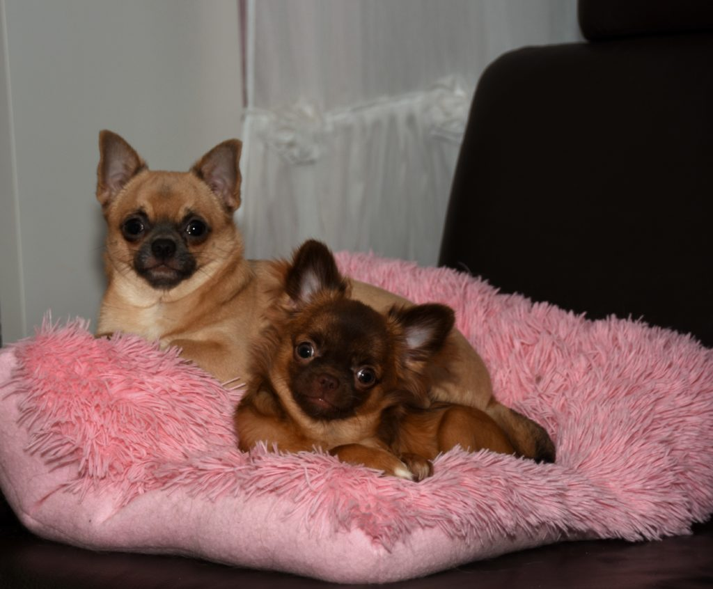 mother for Mishel Isabell vom Chihuahuadream